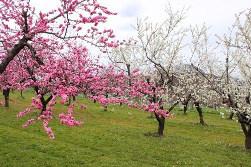 福島県福島市 飯坂温泉 花ももの里 2019年4月12日 IMG_0829