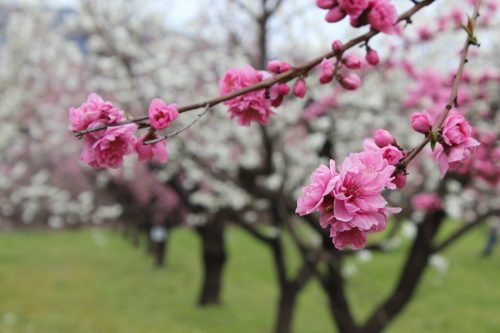 福島県福島市 飯坂温泉 花ももの里 2019年4月12日 IMG_0830
