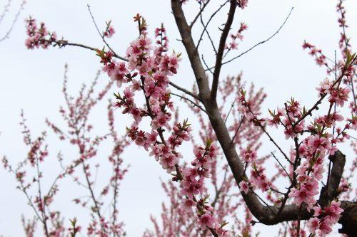 福島県福島市 飯坂温泉 花ももの里 2019年4月12日 IMG_0831