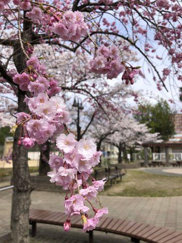 福島県福島市 県庁前公園 2019年4月8日 IMG_4208