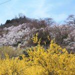 福島県福島市 花見山公園の情報 2019年4月5日 IMG_5708