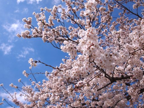 福島県福島市 荒川桜づつみ公園 2019年4月12日
