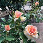 2019年5月24日、あづま総合運動公園 あづま香りのバラ園、バラの花2