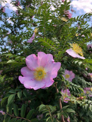 2019年5月24日、あづま総合運動公園 あづま香りのバラ園、バラの花5