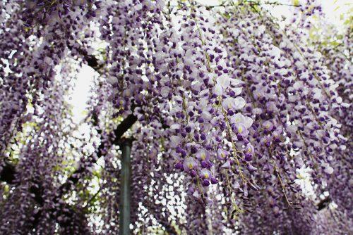 福島県福島市 菅野千枝子邸の藤の花 2019年5月14日 3