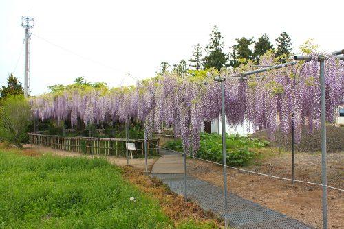 福島県福島市 菅野千枝子邸の藤の花 2019年5月14日 4