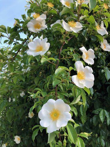 2019年5月24日、あづま総合運動公園 あづま香りのバラ園、バラの花4