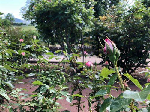 2019年5月24日、あづま総合運動公園 あづま香りのバラ園、バラの花3