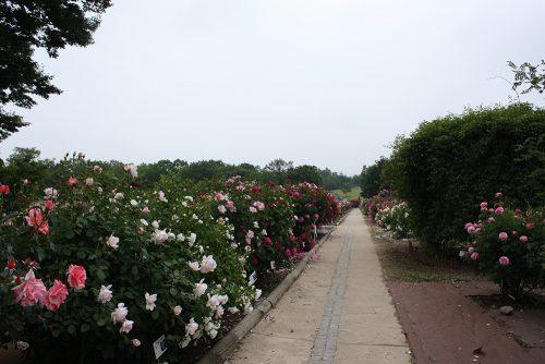 2019年6月7日 よらんしょ!花のふくしま。あづま総合運動公園 あづま香りのバラ園_6034