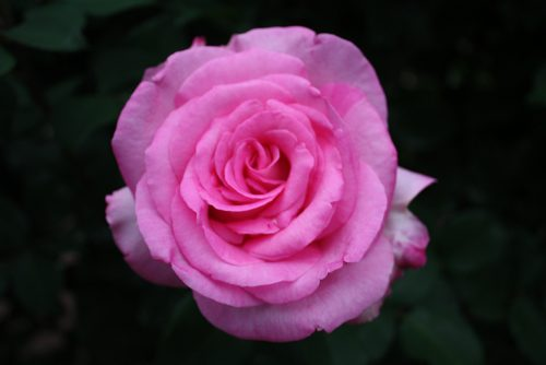 2019年6月7日 よらんしょ!花のふくしま。あづま総合運動公園 あづま香りのバラ園_6043