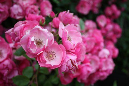 福島県福島市 四季の里 2019年6月7日 よらんしょ!花のふくしま_6022