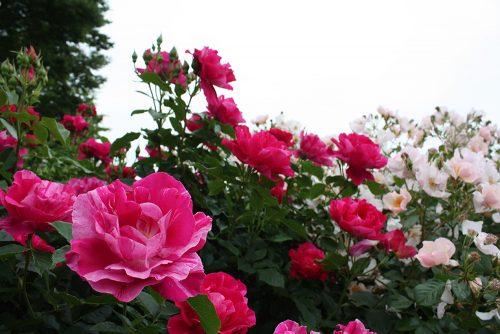 2019年6月7日 よらんしょ!花のふくしま。あづま総合運動公園 あづま香りのバラ園_6035