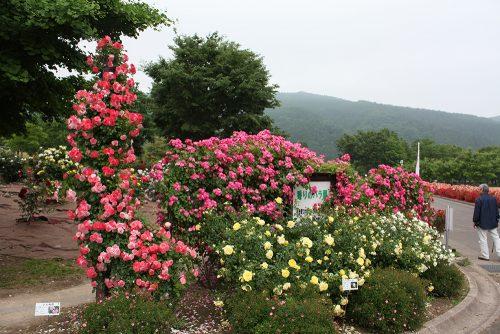 2019年6月7日 よらんしょ!花のふくしま。あづま総合運動公園 あづま香りのバラ園_6041