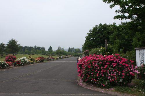 2019年6月7日 よらんしょ!花のふくしま。あづま総合運動公園 あづま香りのバラ園_6040