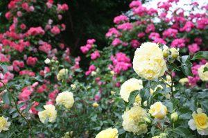 2019年6月7日 よらんしょ!花のふくしま。あづま総合運動公園 あづま香りのバラ園_6042