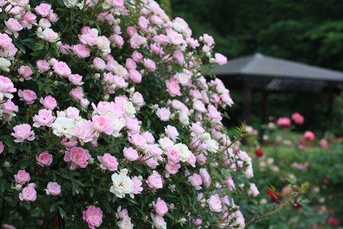 福島県福島市 四季の里 2019年6月7日 よらんしょ!花のふくしま_6030